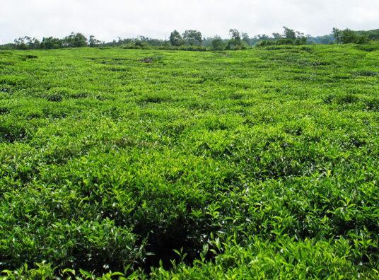 Bois Cheri Tea01